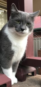 spartacus is our grey and white cat, he is sitting on a pillar near the front door, and looking beautiful - disability humour