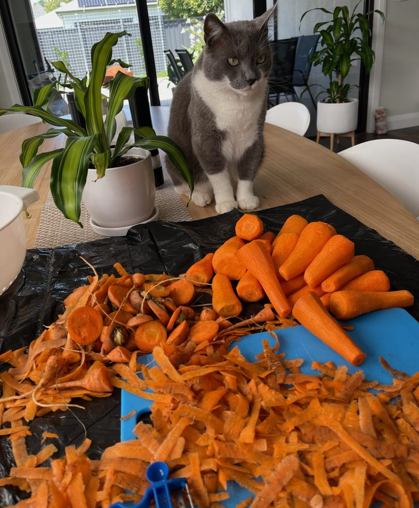 Spartacus the grey and white cat sits on the dining table, looking at carrots, and glad he is not a vegetarian - freezing carrots cooking