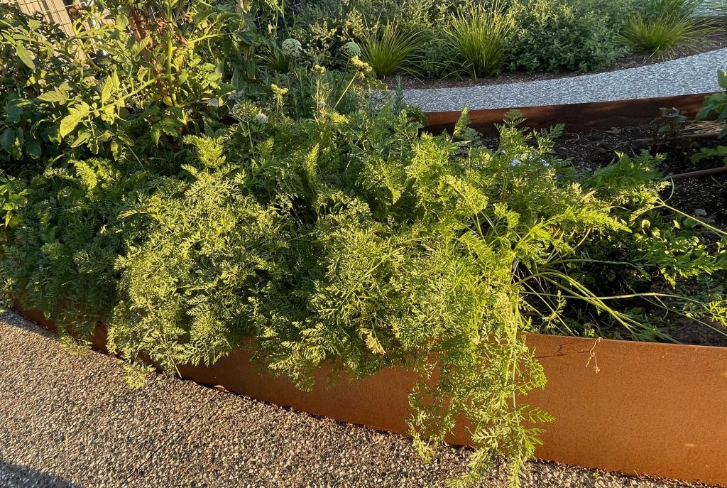 raised garden bed and the crop of carrots