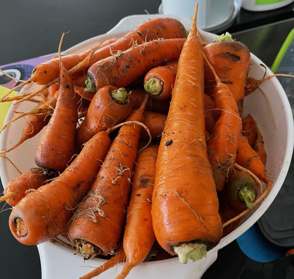 thirty dirty orange carrots sitting in a white drainer