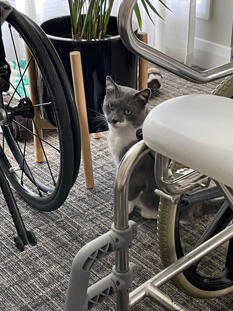 spartacus the gray and white cat looks at the camera, and sits between the manual chair and shower chair